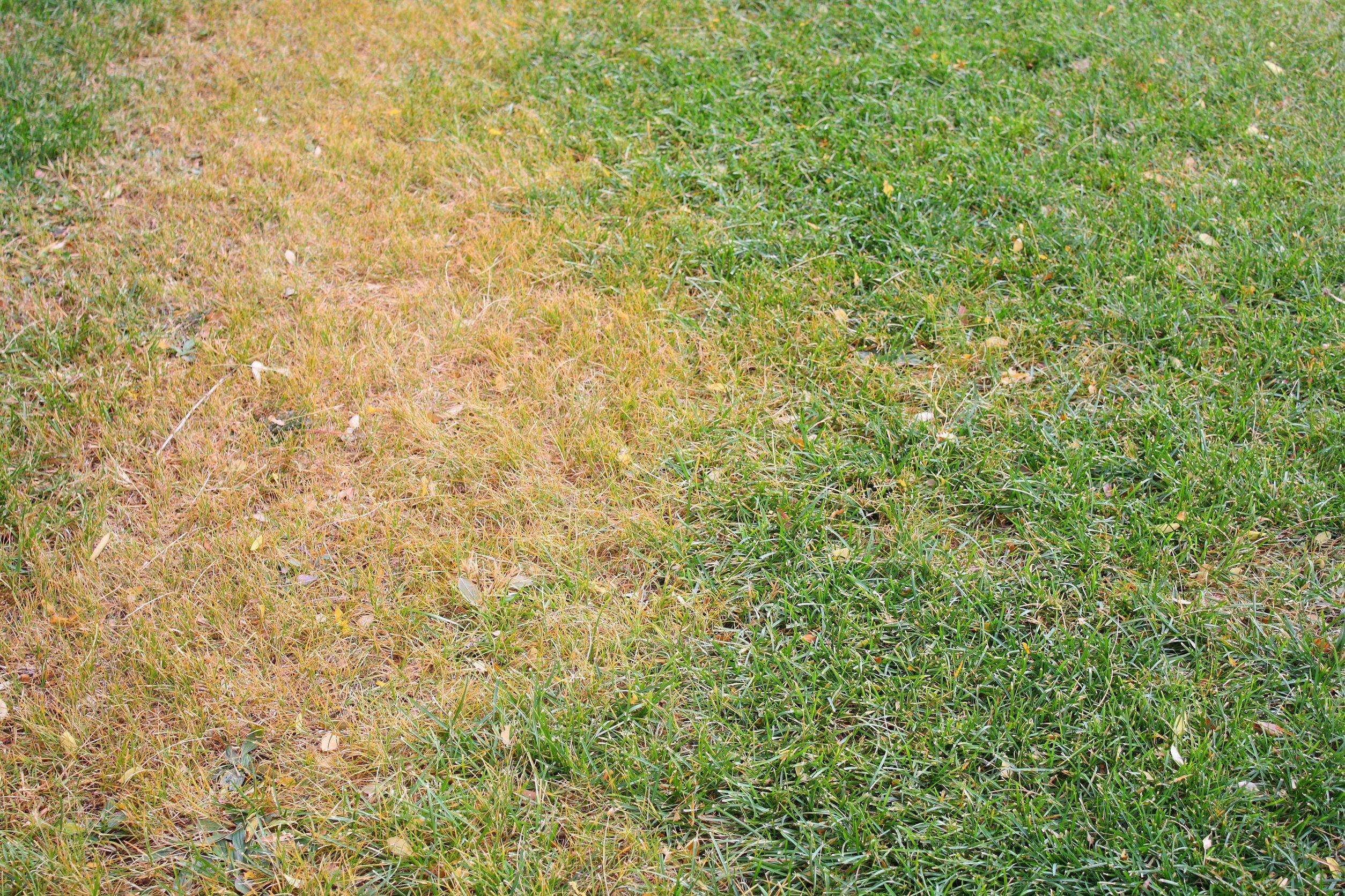 revive dead lawn